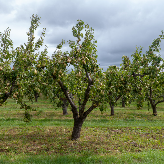 """Pear orchard"" stock image"