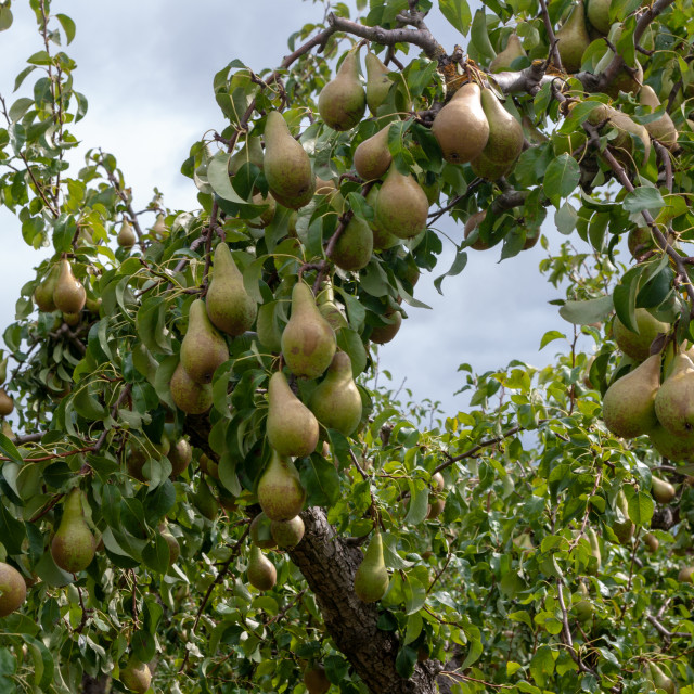 """Pears on pear tree branch."" stock image"