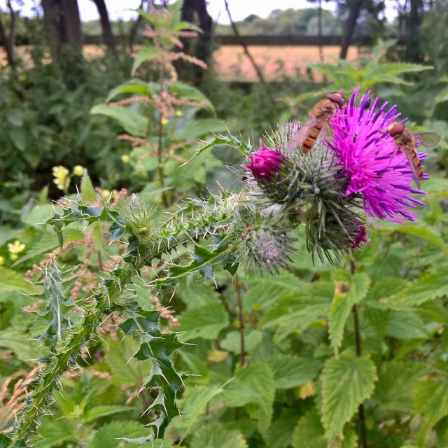 """""""Hoverflies on a Thistle"""" stock image"""