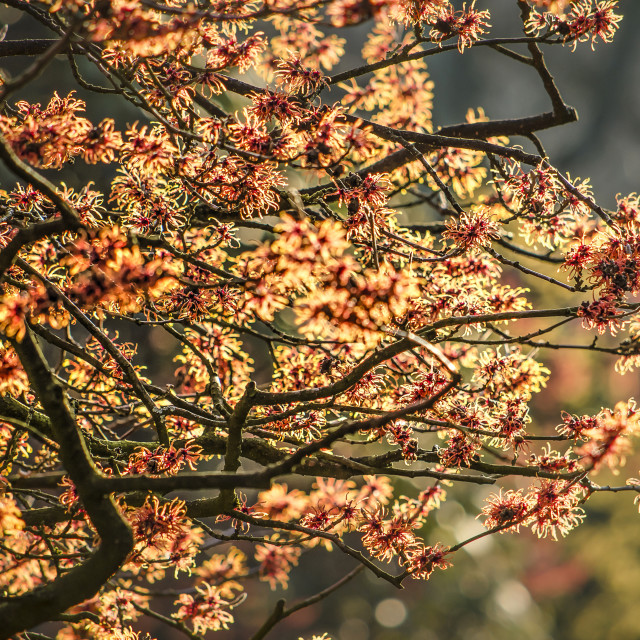 """""""Red and yellow witch hazel shrubs"""" stock image"""