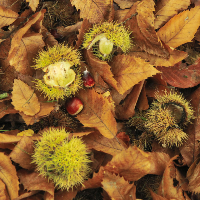 """""""Autumn Leaves and Nuts."""" stock image"""