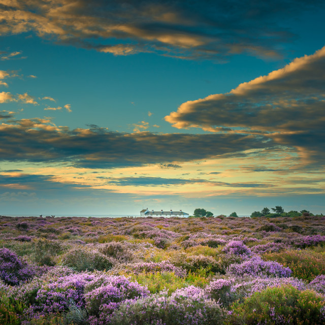"""Dunwich Heat Heather In Bloom"" stock image"