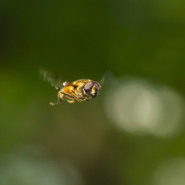 """""""Drone fly Eristalis tenax insect in flight on a sunny day"""" stock image"""