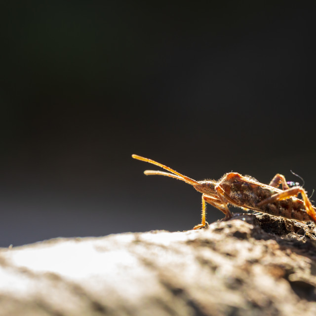"""""""Western conifer seed bug insect, Leptoglossus occidentalis, crawling"""" stock image"""