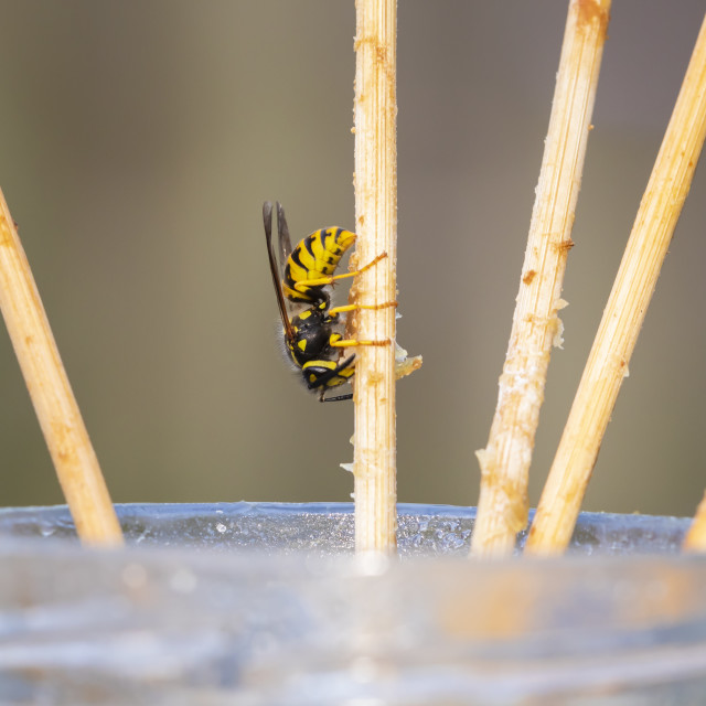 """""""Closeup of a common wasp insect, Vespula vulgaris, feeding on leftovers"""" stock image"""