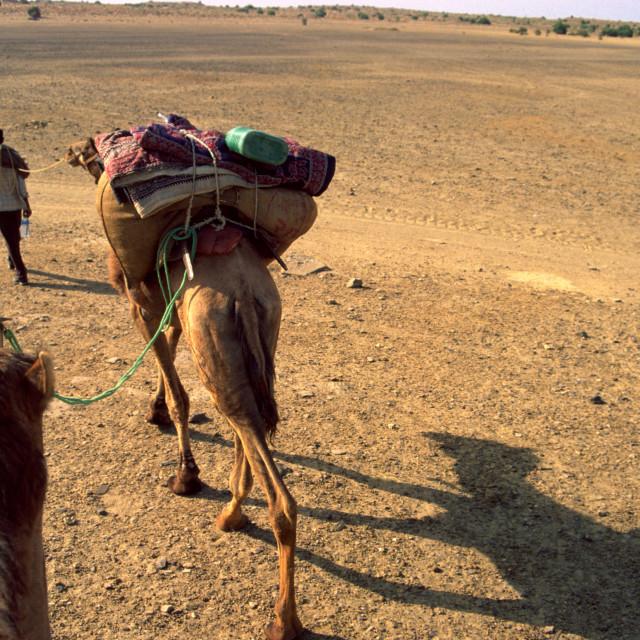 """Thar Desert Rajastan India. A camel driver leads his camels across the desert."" stock image"