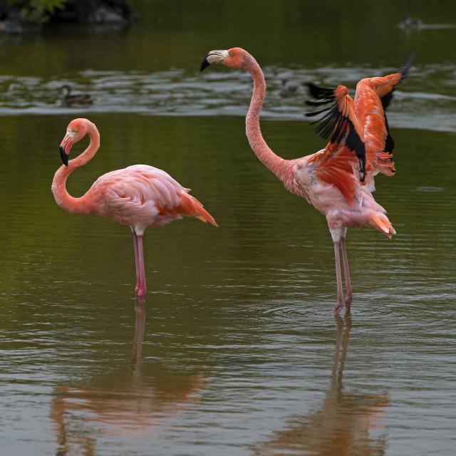 """American flamingos (Phoenicopterus ruber), Isabela Island, Galapagos Islands,..."" stock image"
