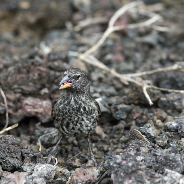 """Medium Ground Finch (Geospiza fortis) , he belongs to the group of Darwin..."" stock image"