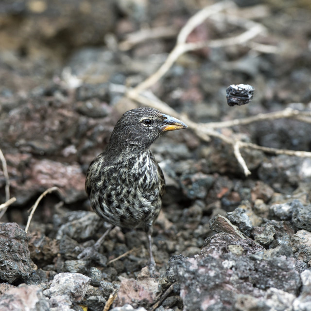 """""""Medium Ground Finch (Geospiza fortis) removing stones when searching for..."""" stock image"""