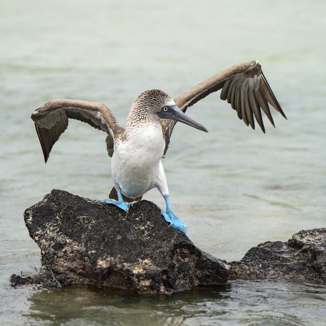 """Blue-footed booby (Sulidae), a marine bird of the boobies family (Sulidae),..."" stock image"
