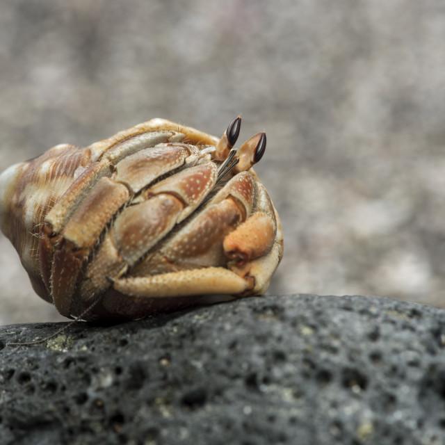 """Ecuadorian hermit crab (Coenobita compressus) in a shell, Floreana Island,..."" stock image"