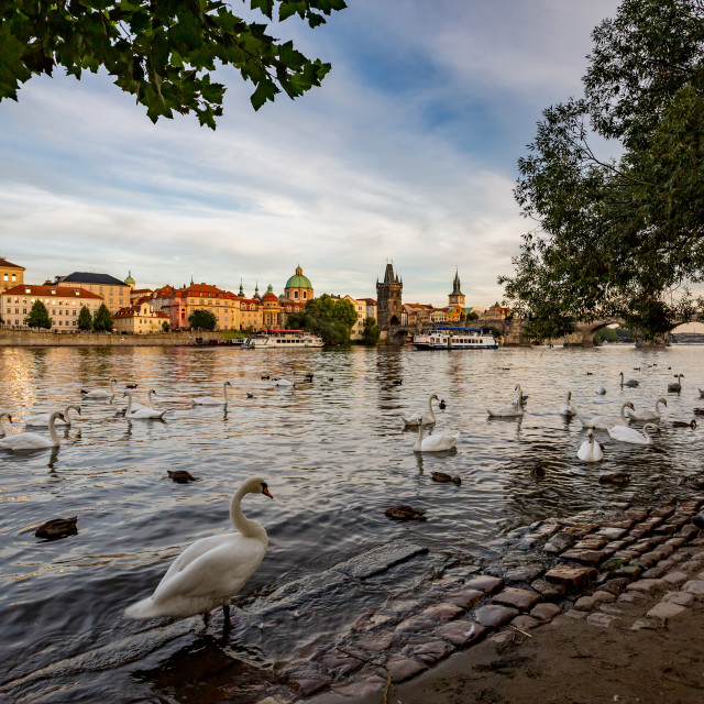 """""""Swans in the river in Prague at summer evening"""" stock image"""