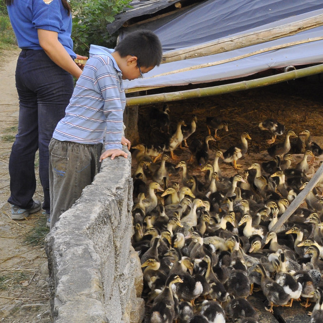 """Duck farm Guangxi, China"" stock image"