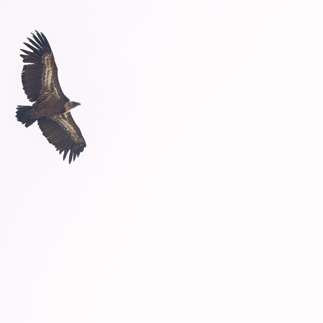 """""""Isolated vulture flying"""" stock image"""