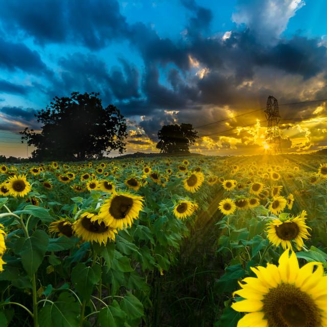 """""""Sunflower Garden Sunset"""" stock image"""