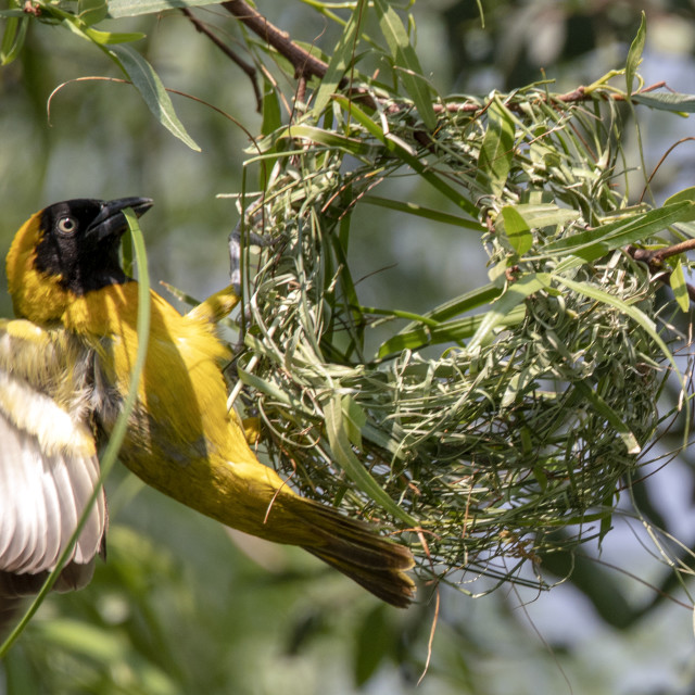 """Weaver Bird"" stock image"