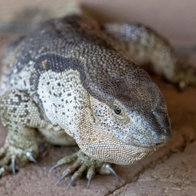 """Rock Monitor Lizard"" stock image"