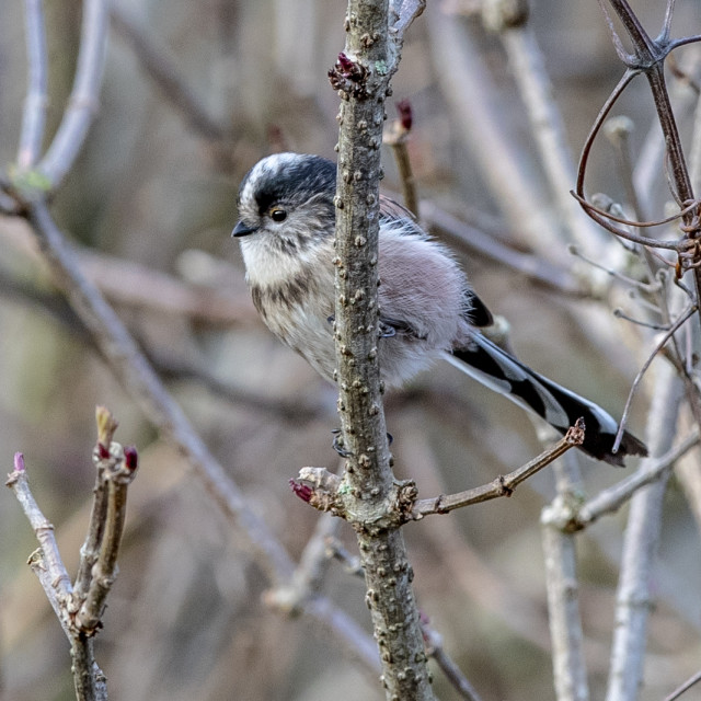 """""""long tailed tit"""" stock image"""