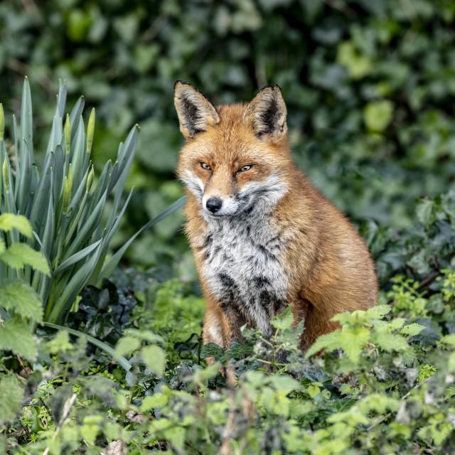 """""""foxy lady"""" stock image"""