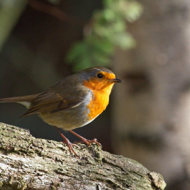 """""""Robin Red Breast (Erithacus rubecula)"""" stock image"""