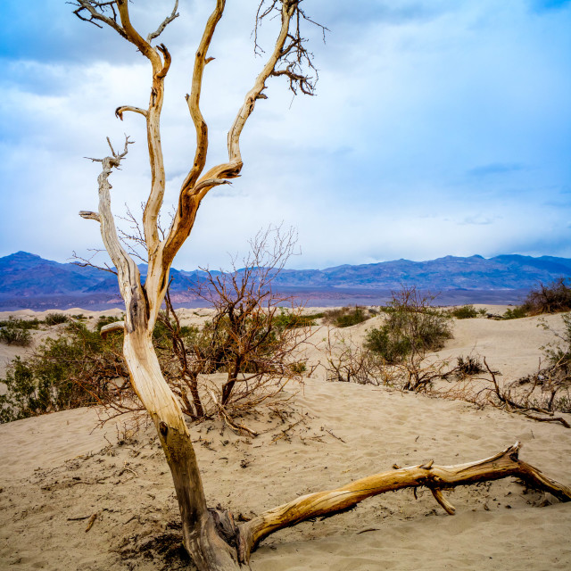 """Dead tree in Death Valley National Park"" stock image"