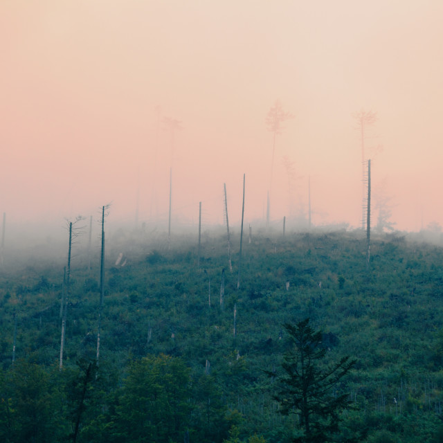 """""""Mountainside, trees destroyed by wind and acid rains, covered by mist and clouds"""" stock image"""