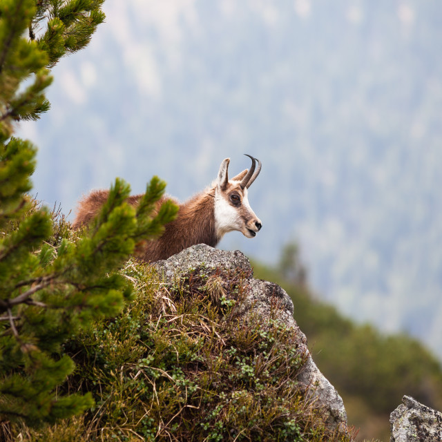 """""""Chamois in High Tatras National Park"""" stock image"""