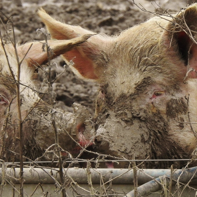 """""""Muddy Snouts."""" stock image"""