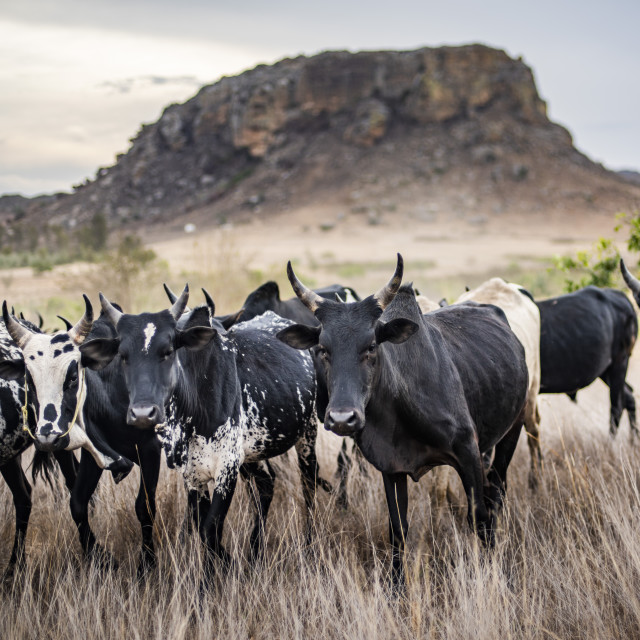 """Zebu herd, Isalo National Park, Ihorombe Region, Southwest Madagascar"" stock image"