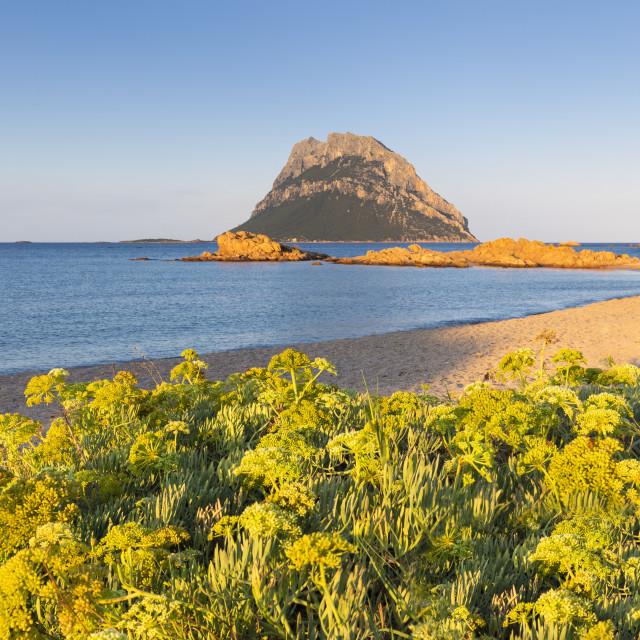 """Wild yellow flowers on the beach of Punta Don Diego, Porto Taverna, Loiri..."" stock image"