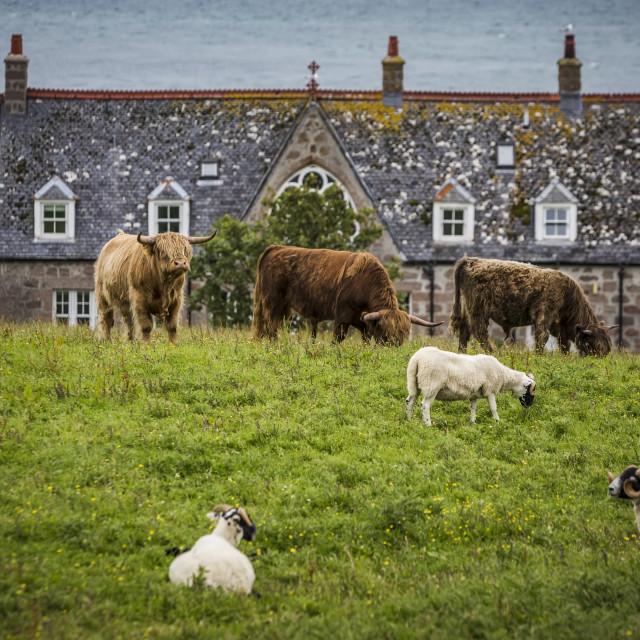 """Cows and Sheep Near Iona Island Bishops House"" stock image"