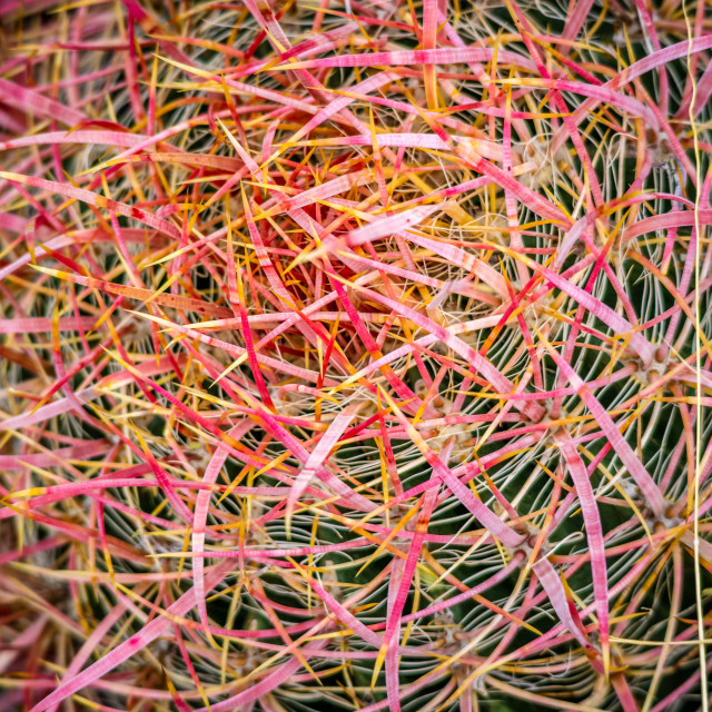 """Red Barrel Cactus in Joshua Tree National Park"" stock image"