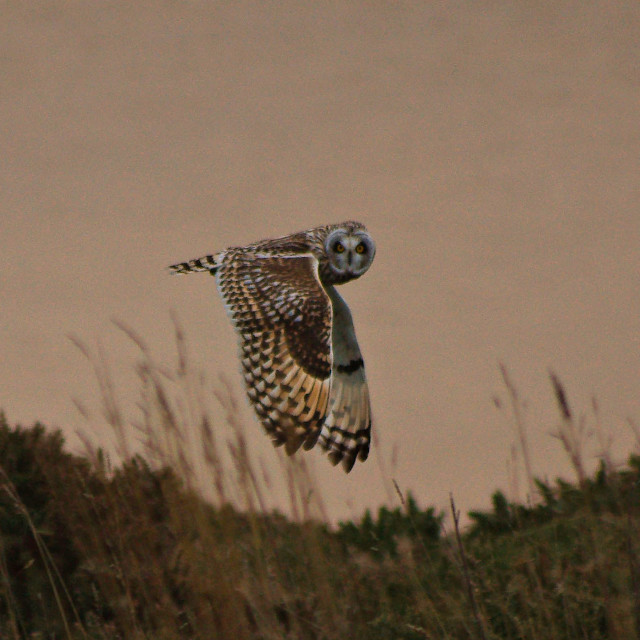 """Short eared owl."" stock image"