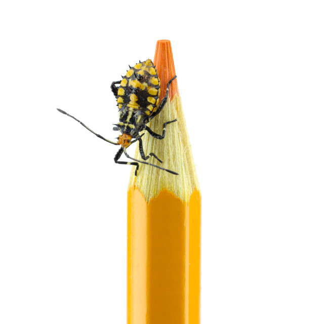 """The Bed Bug Nymph at the Tip of the Orange Pencil"" stock image"