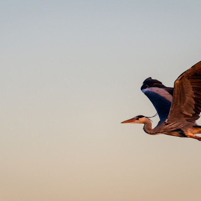 """A grey heron in flight"" stock image"