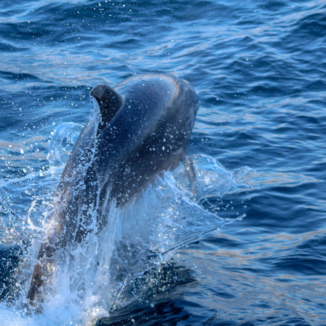 """""""Jumping Dolphin"""" stock image"""