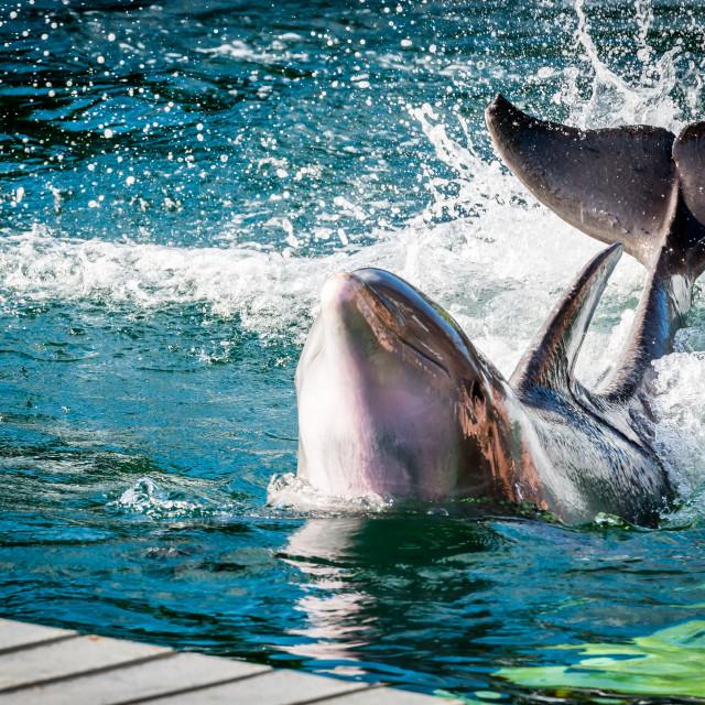 """Dolphin in Xel Ha resort"" stock image"