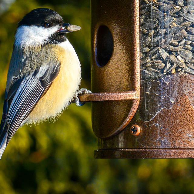 """Black-capped chickadee on bird feeder"" stock image"