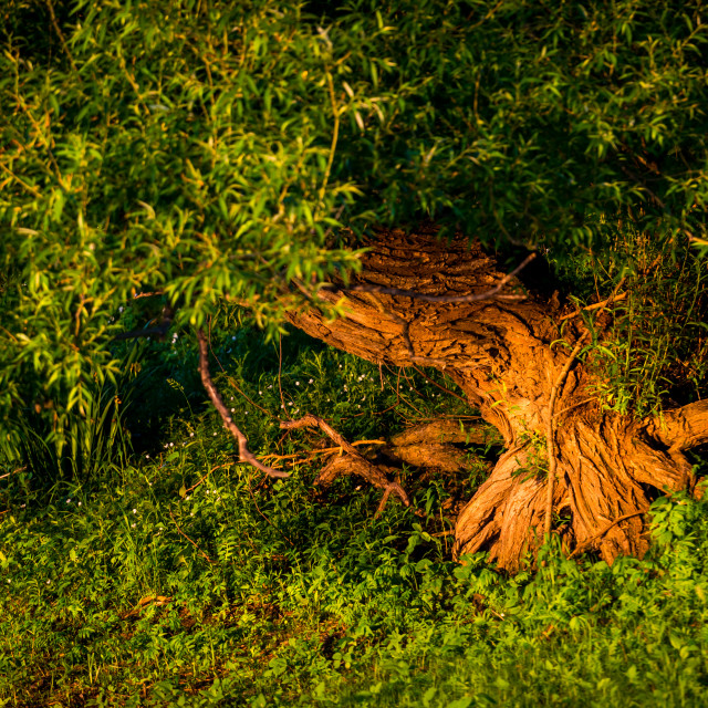 """""""Nice tree in the Boucherville Islands"""" stock image"""