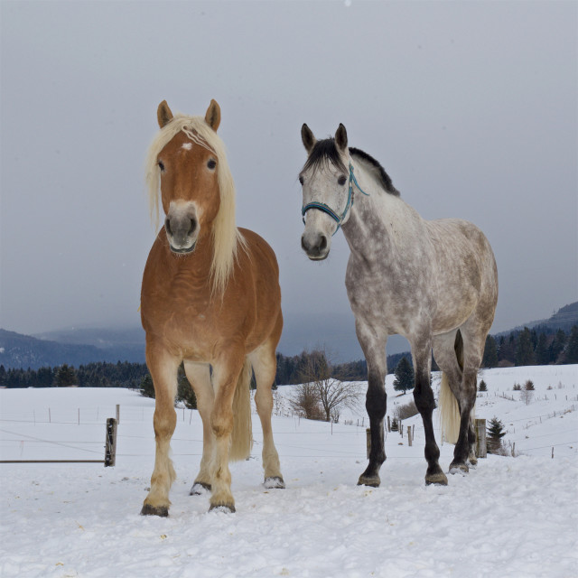 """Horses in snow"" stock image"
