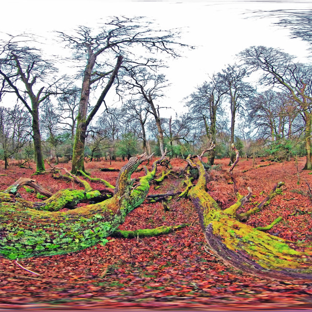 """""""fallen Oak tree in the New Forest (Equirectangular 360vr)"""" stock image"""