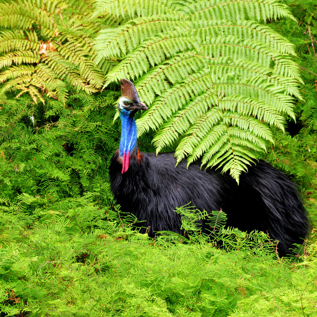 """Australian Cassowary and Ferns"" stock image"