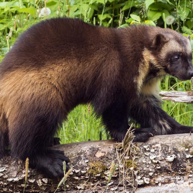 """Alaskan Wolverine"" stock image"