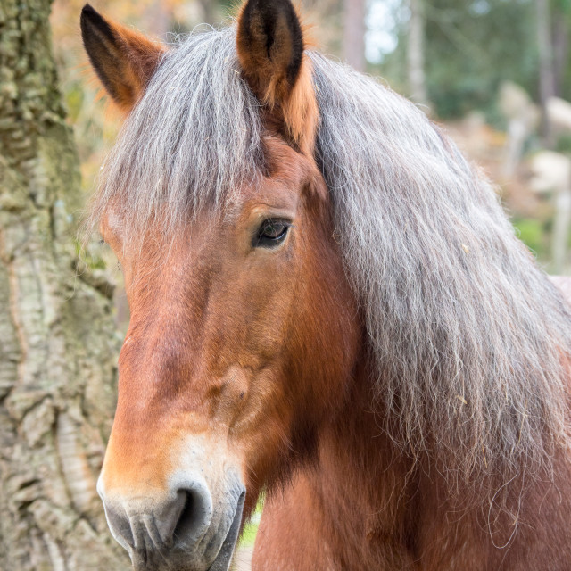 """""""Vertical portrait of red horse face, silver mane"""" stock image"""