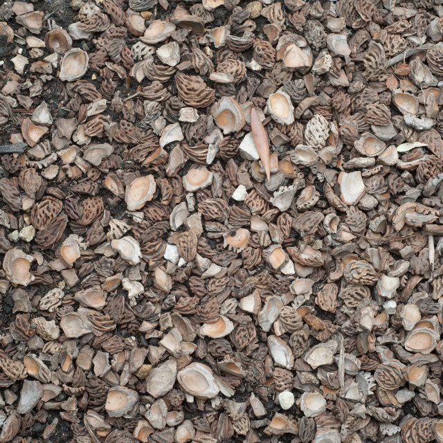 """""""Peach or apricot stone halves used as paving."""" stock image"""
