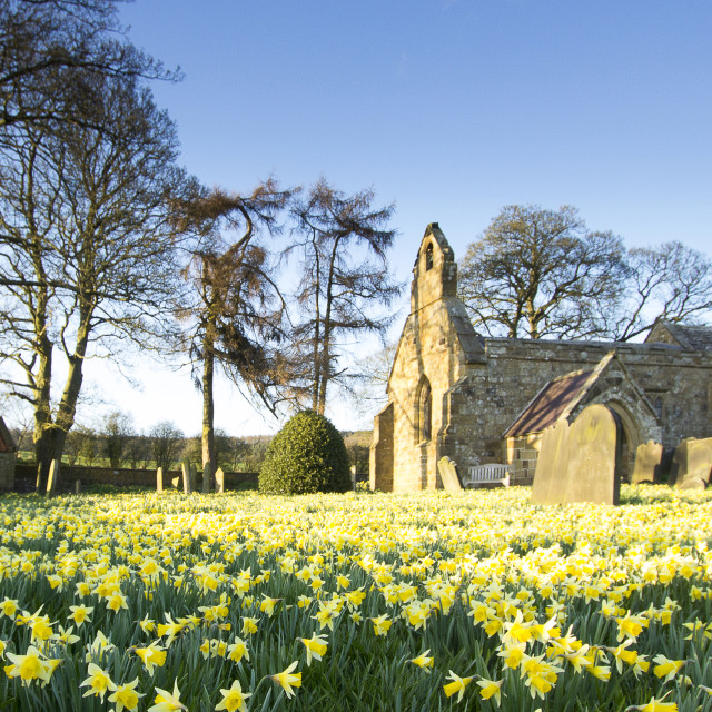"""""""St,Mary's Daffodils."""" stock image"""