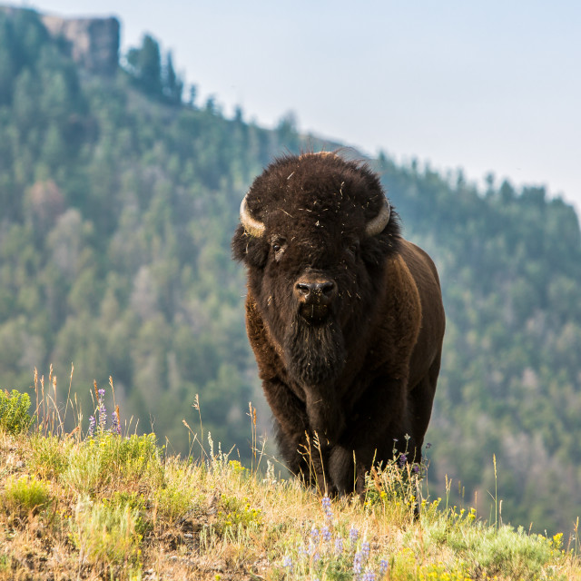 """Bison Life 2"" stock image"