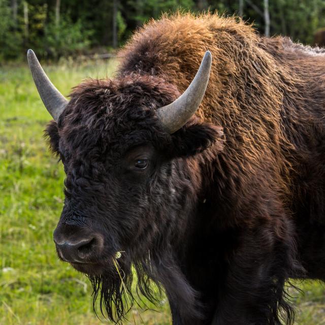 """buffalo life"" stock image"