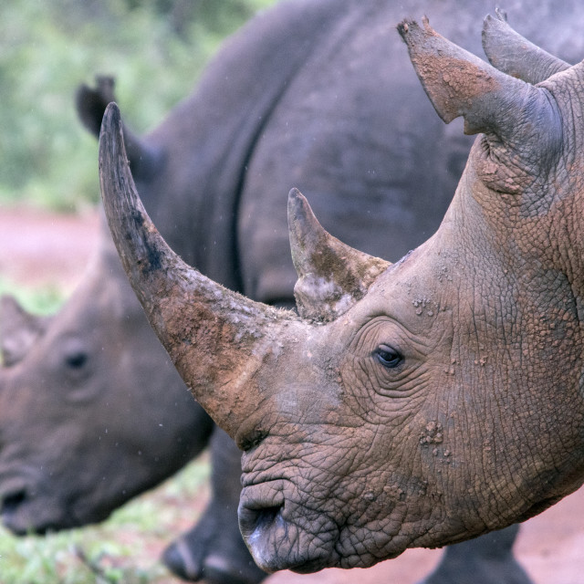 """""""White rhino horn"""" stock image"""