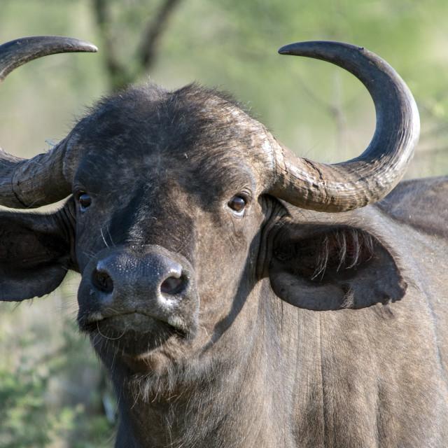 """Buffalo"" stock image"